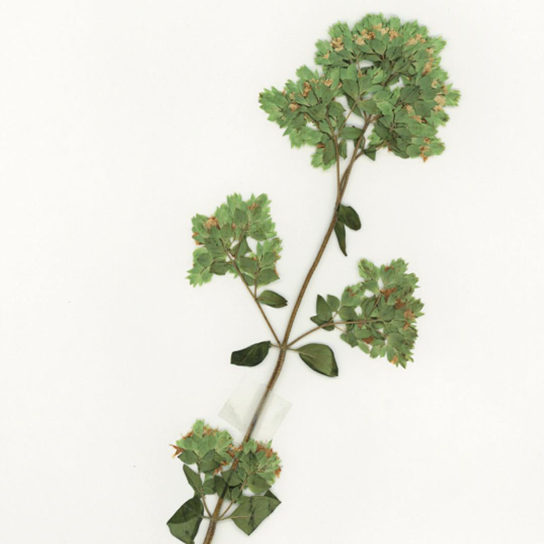 Orégano - Herbarium Legados vivos2019 - FCAYC