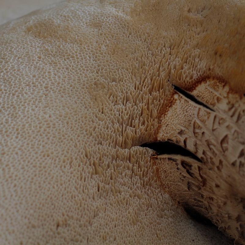 Polyporus squamosus - micologia Entretiempo 2021 - fundacion cerezales fcayc-HOME