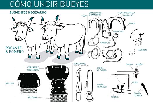 como-uncir-bueyes-infografia-Fundacin-cerezales-blog-fcayc